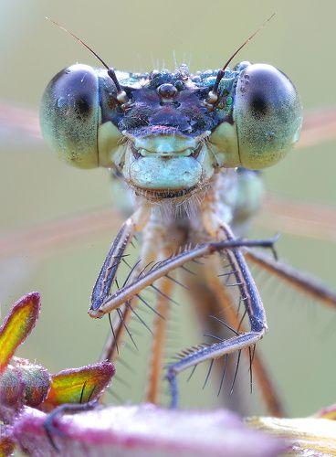 портрет стрекозы лютки