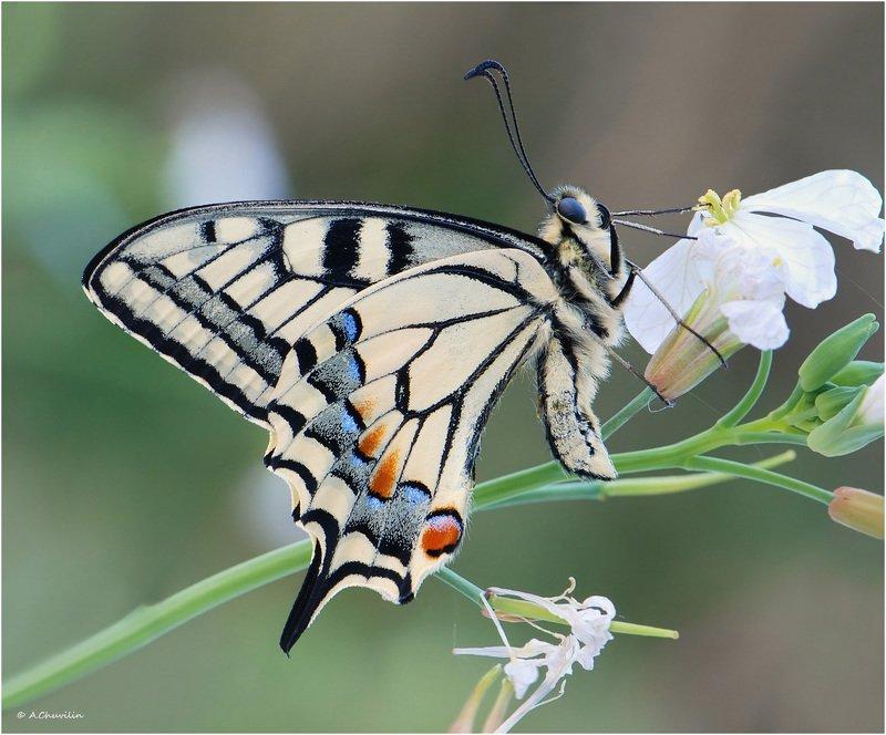 бабочка,махаон,линии,графичность Графичность махаонаphoto preview
