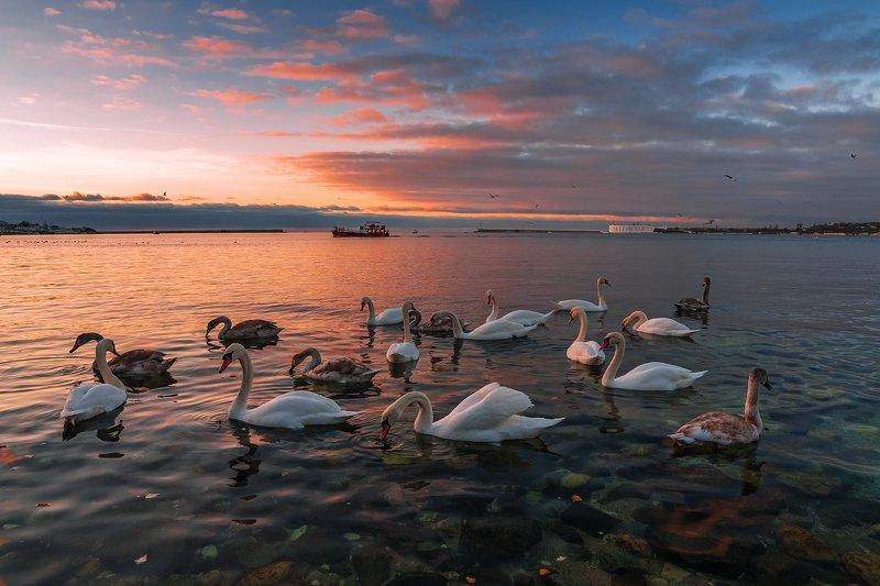 крым, севастополь, бухта, море, чёрное море, лебеди, птицы, закат, облака, Лебеди в Севастопольской бухтеphoto preview