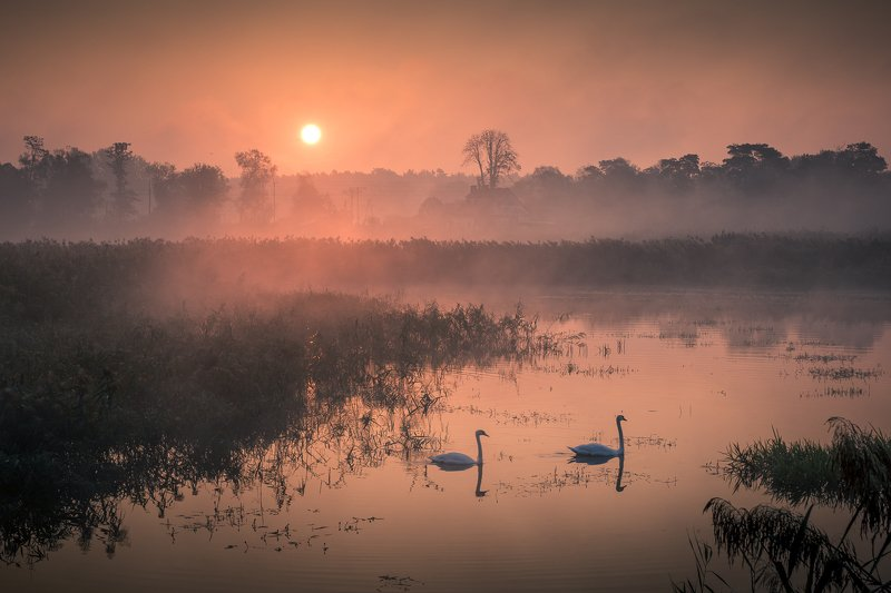 swans, foggy, fog, morning, sunrise, landscape, nature, lake, pond, outdoor, Swansphoto preview
