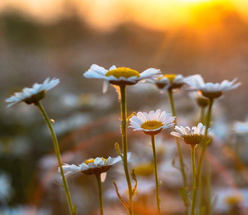 цветы, ромашки, лето, закат photo preview
