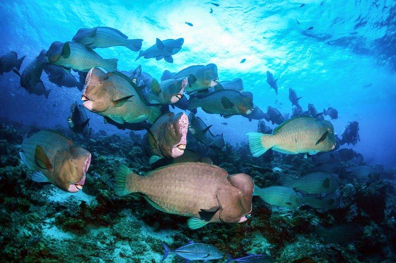 Зеленые шишколобые попугаи на коралловом рифе острова Сипадан.photo preview
