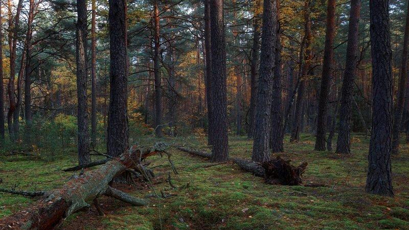 осень, лес, сосны, бор, мох Осень в сосновом боруphoto preview