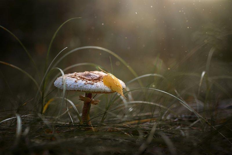 гриб, поганка, осень, березовый лист Поганки тоже фотогеничны )photo preview