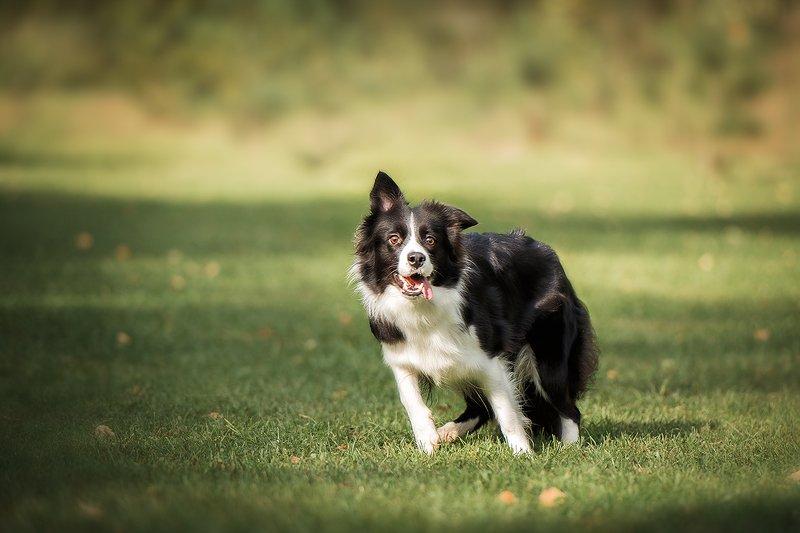 бордер колли, собаки, животные Пеппиphoto preview