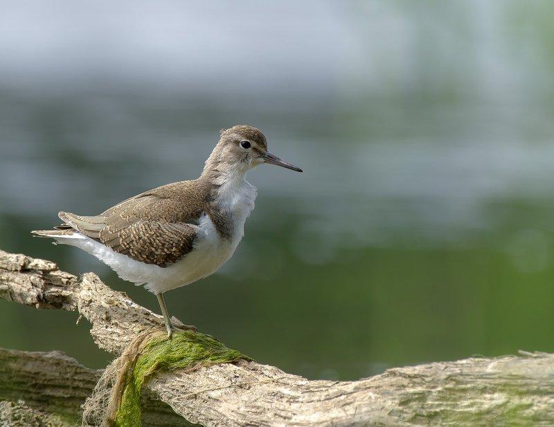 птицы,природа,лето Перевозчикphoto preview