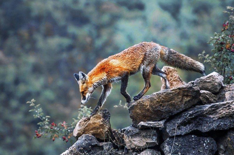 Лис, лиса, fox Little Foxphoto preview