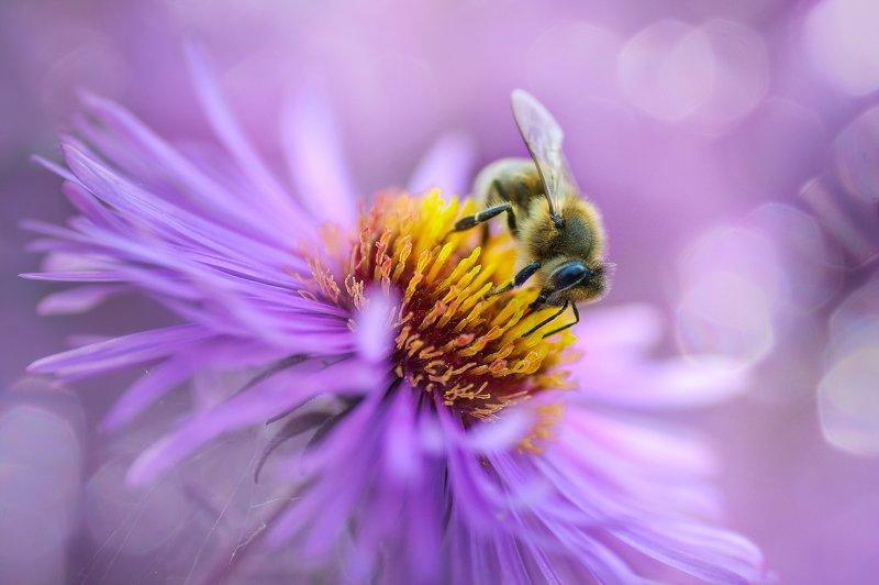 пчела, нектар, флора, цветок, розовый Трудяга...photo preview