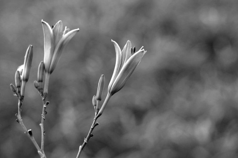 flowers blackandwhite #002photo preview