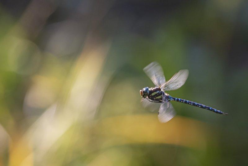 стрекоза коромысло полет сентябрь В лучах уходящего летаphoto preview