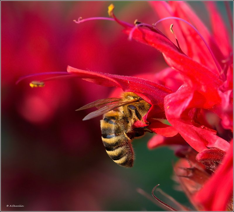 пчела,август,красные,тона В красных тонахphoto preview