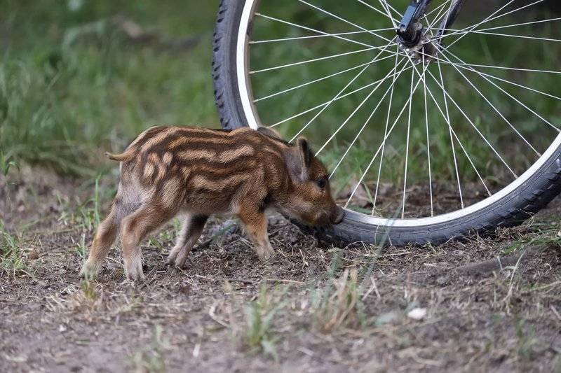 лес,поросёнок,свинёнок,кабанёнок,любопытный,наглый,полосатый,велосипед,колесо,шины \