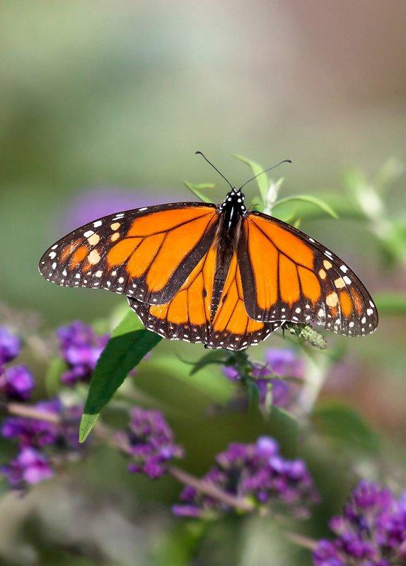 макро,бабочки,насекомые,монарх,природа,растения,цветы,листья,свет,крылья,осень,лето, Конец лета...photo preview