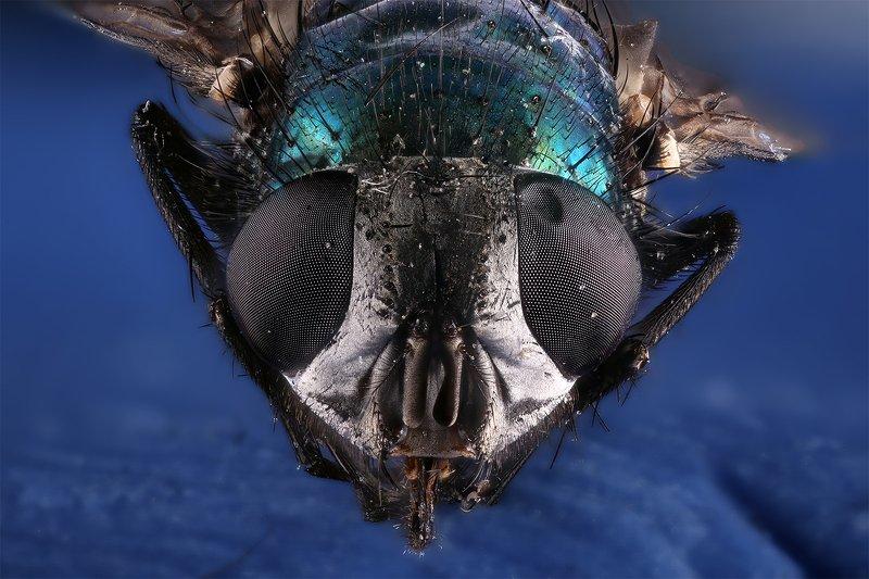 муха насекомое макро Мухаphoto preview