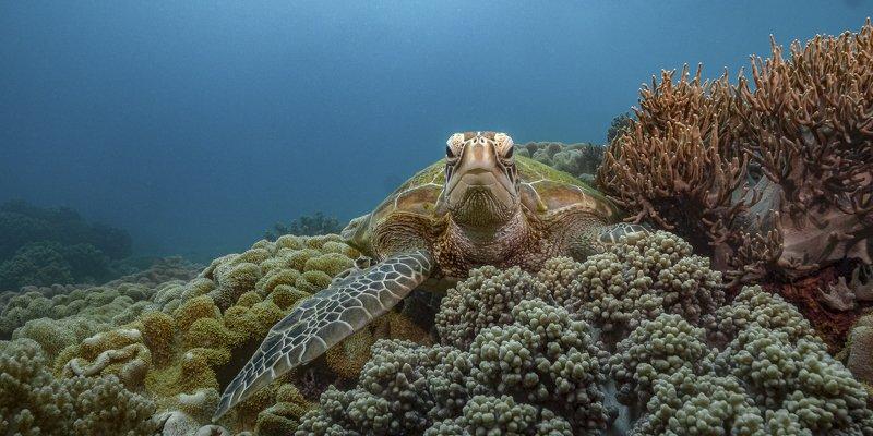 turtle, apo, underwater, diving, philippines Резидент острова Апоphoto preview