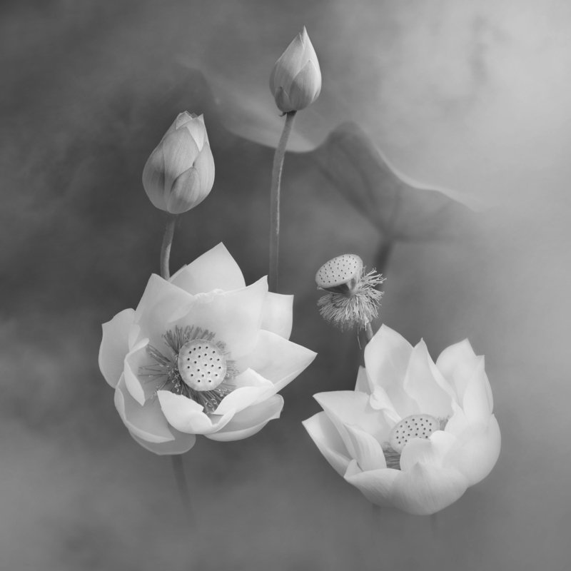 lotus, BW,  Lotusphoto preview