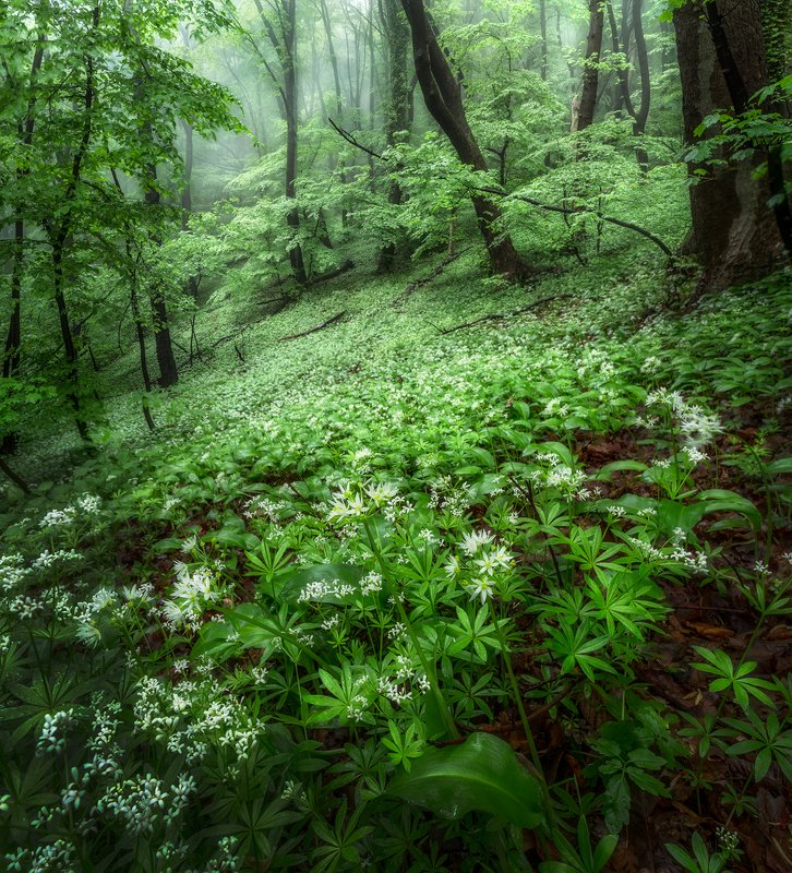landscape nature scenery forest wood trees mist misty fog foggy mountain vitosha bulgaria туман лес With a breath of wild garlicphoto preview