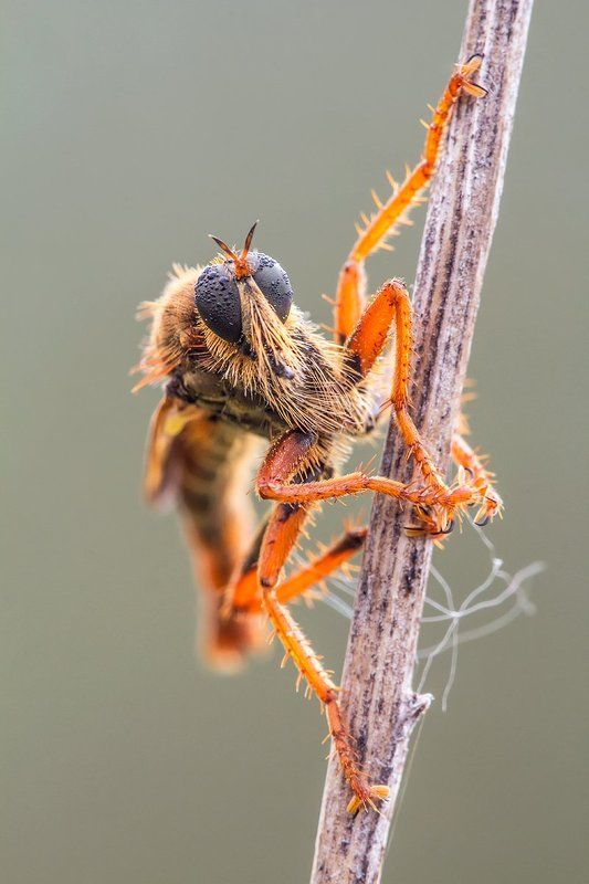 diptera Robberflyphoto preview