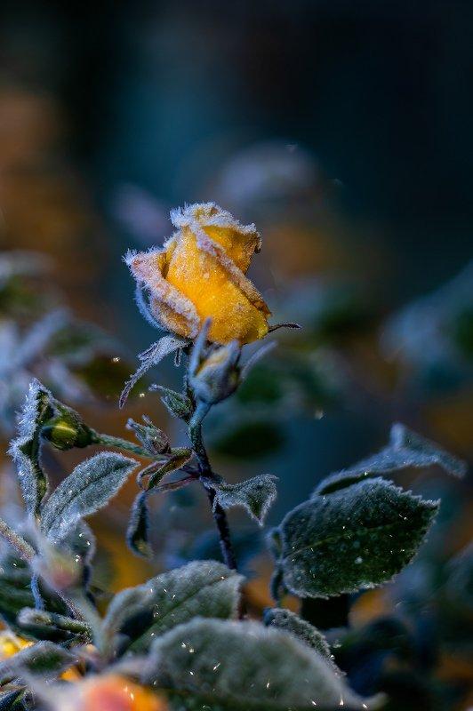 роза, осень, мороз, цветы, жёлтый Дыхание зимыphoto preview