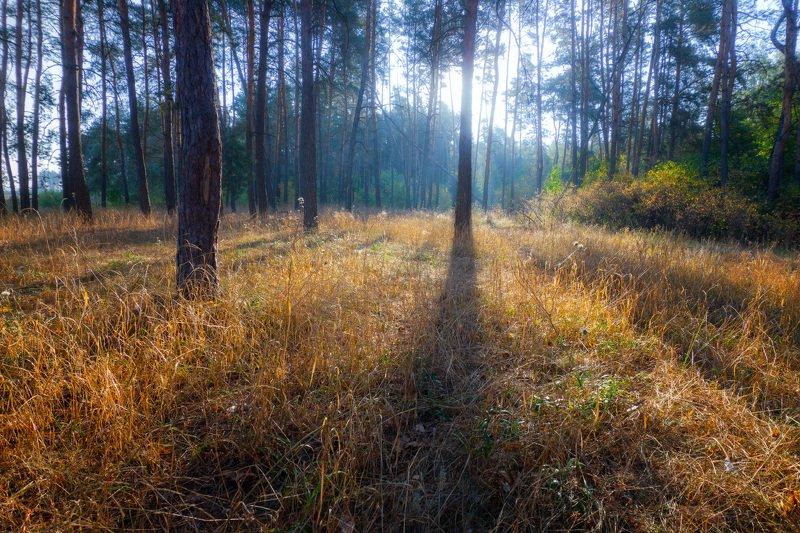 рассвет, лес, утро, бор, dawn, forest, morning Рассвет в сосновом лесуphoto preview