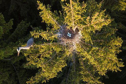 Цапля и гнездо