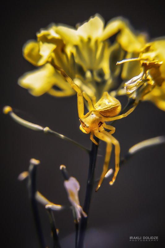spider, macro, close-up, photography, photo, canon, 50mm, 10x macro, yellow My Model - Spiderphoto preview