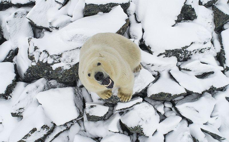 чукотка арктика осень медведь белый полярный морской ....photo preview