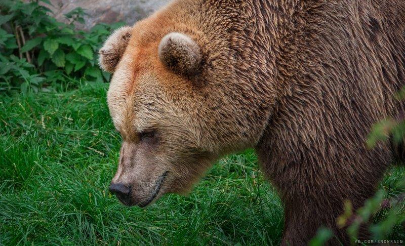 bear, медведь, фотоохота, анималистика, дикая природа, природа, лес, животные, nature, wildlife, animal, wildlifephoto Iso karhuphoto preview