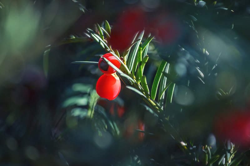 canon 55-250, beautiful, красивый, moment, момент, nature, природа, yew, тис, thicket, чаща, осенний, autumn, осень, Притаившаяся опасность.photo preview