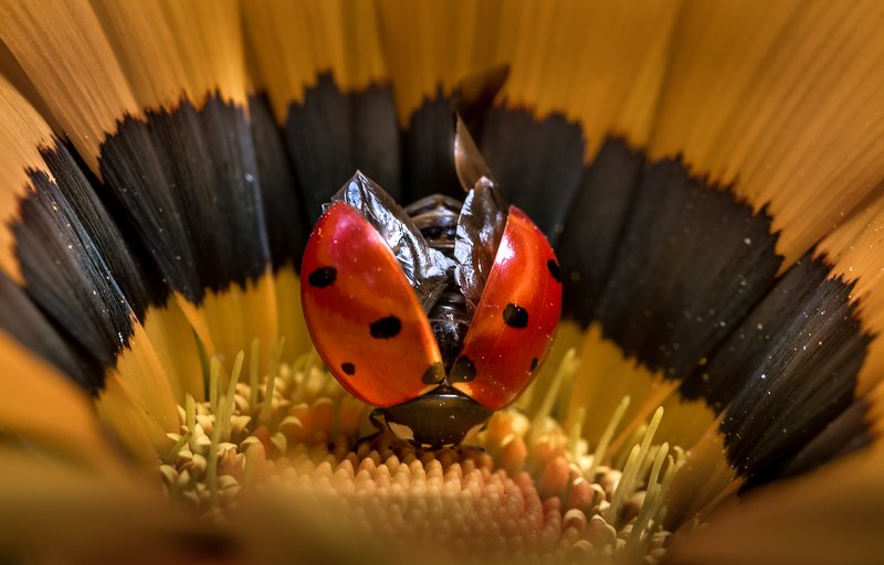 природа, макро, цветы, гацания, жук, божья коровка, желтый, черный, красный Карменphoto preview