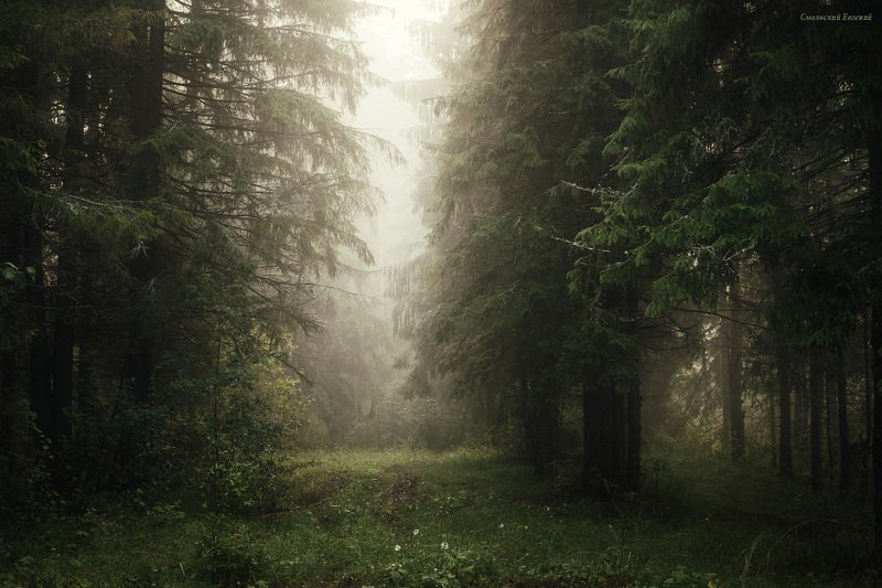 туман, утро, лес, ель, лето Туманное утро в ельникеphoto preview