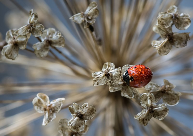 природа, макро, насекомое, жук, божья коровка, растение, лук гигантский Царица балаphoto preview