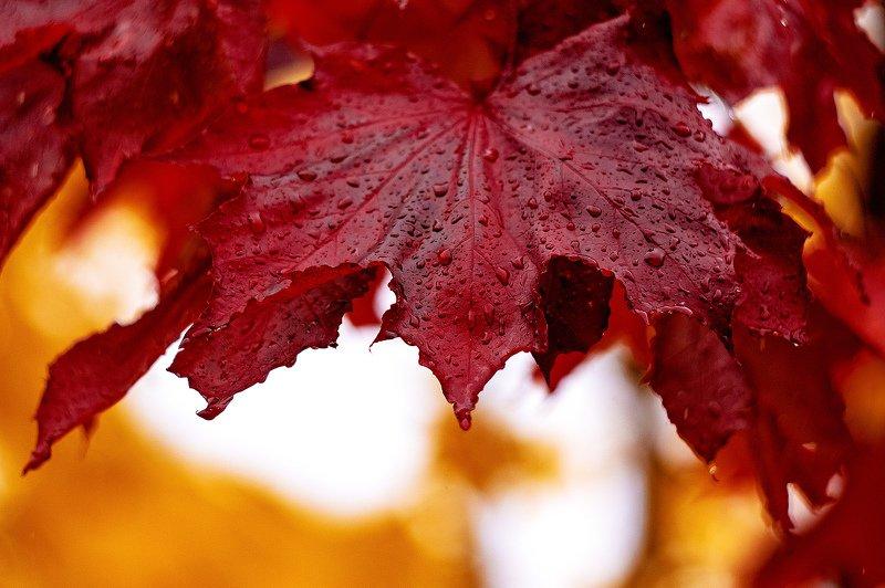 осень, дождь, настроение, красный, парк, природа, лист, клен Дары октябряphoto preview
