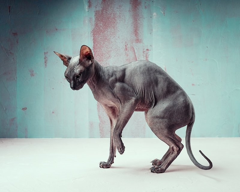 донской сфинкс кошки фэшн нонконформизм Кошкаphoto preview
