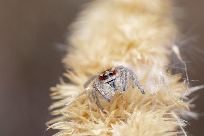 spider, jumping spider, паук, скакун, salticidae Salticidaephoto preview