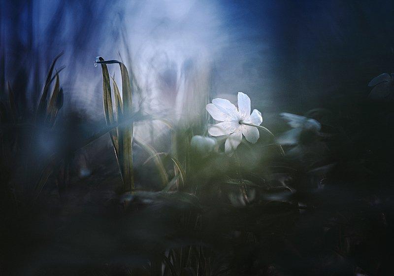 украина, коростышев, природа, лес, весна, полесье,  макро, макро истории, волшебство, тишина, уединение, мечта, счастье, жизнь, воздух, чистый, вдохновение,  вера, бытие, странник, ветреница, трава, фотограф, чорный, \