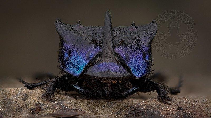 Scarabaeidae Бульдозерphoto preview