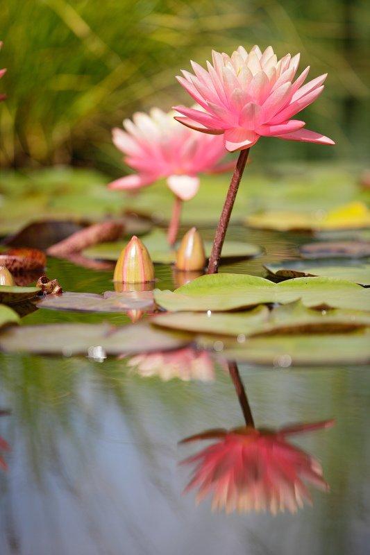 кувшинка, лето, цветок, природа Кувшинкиphoto preview