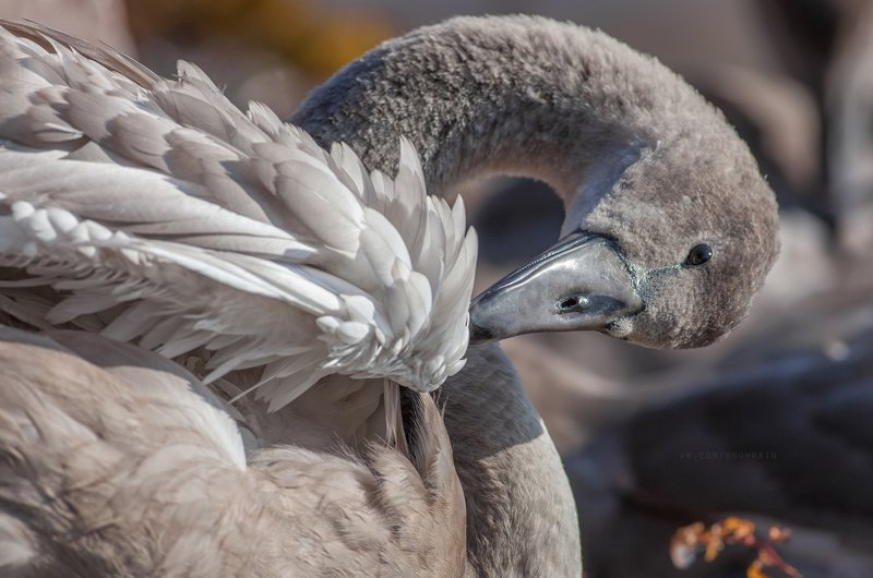 wildlife photography, birds, фотоохота, птицы, анималистика, дикая природа, birdwatching, nature, swan, лебеди Молодые лебеди в Хельсинкиphoto preview