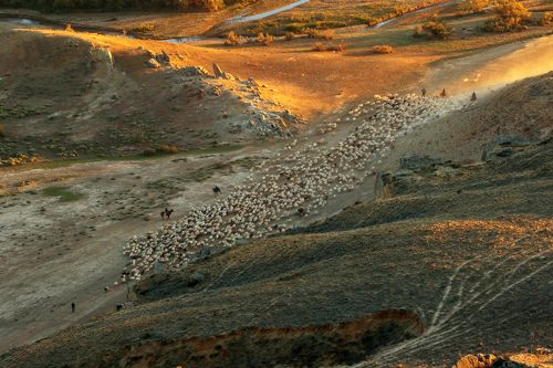 Перегон овец..