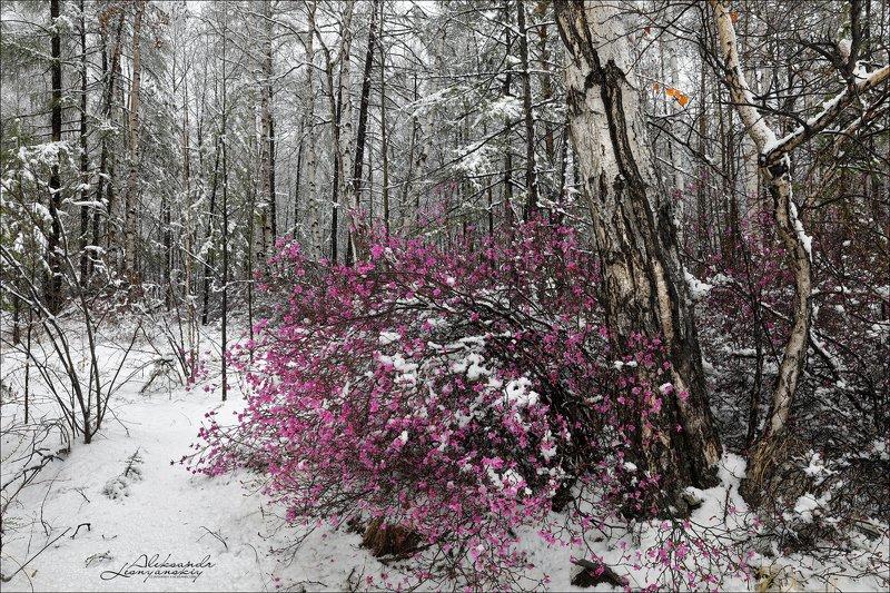 забайкальский край Багульник под снегомphoto preview