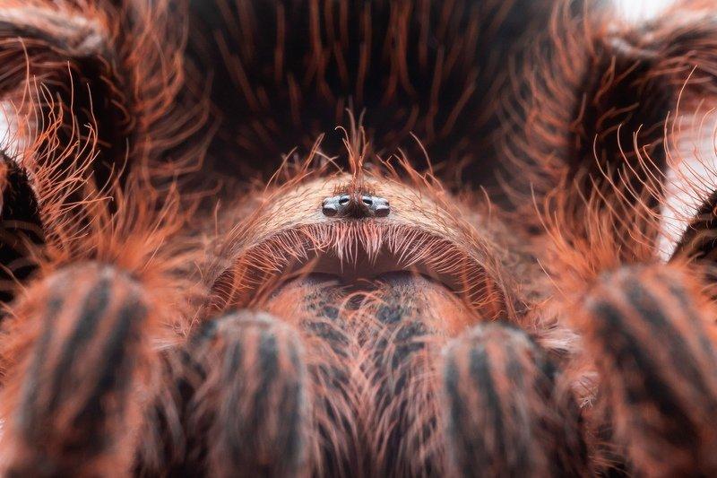 паук, spider grammostola roseaphoto preview