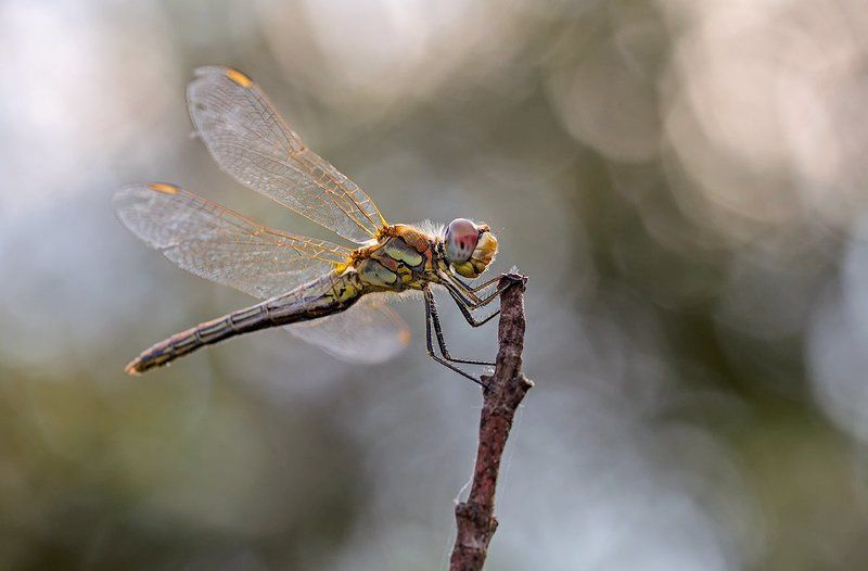 odonata Sympetrum fonscolombiiphoto preview