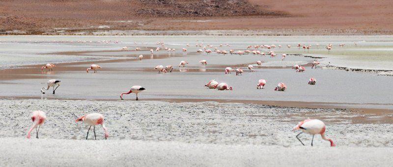 боливия, высокогорье, горы, кормешка, латинская америка, лето, озеро, птица, птицы, фламинго, южная америка Боливия, солт лейк, где-то высоко в горахphoto preview