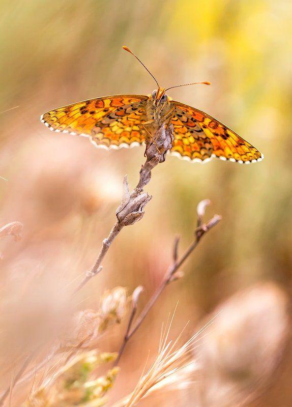 lepidoptera Meltaea phoebephoto preview