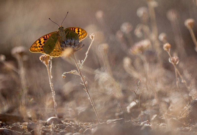 lepidoptera, butterfly, canon, 600d, 5d mkii, sigma, l is Argynnis pandoraphoto preview