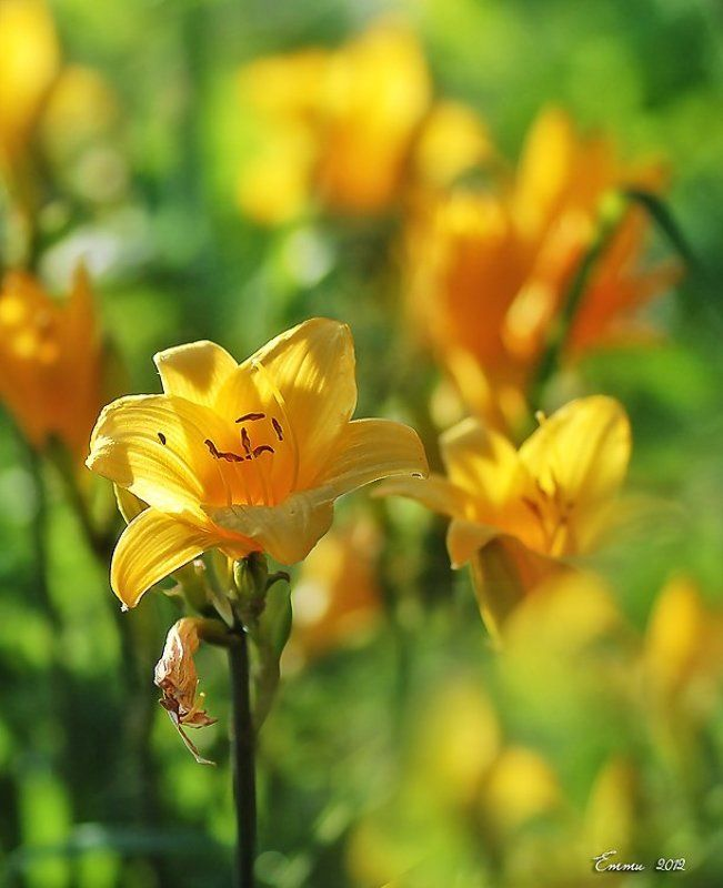 цветы, природа, лето, лилия Лилия.photo preview