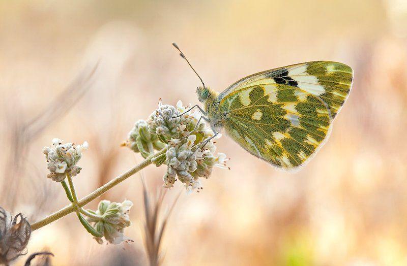 lepidoptera POntia daplidicephoto preview