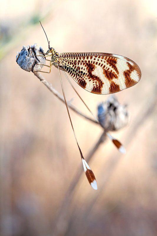 Nemoptera bipennisphoto preview