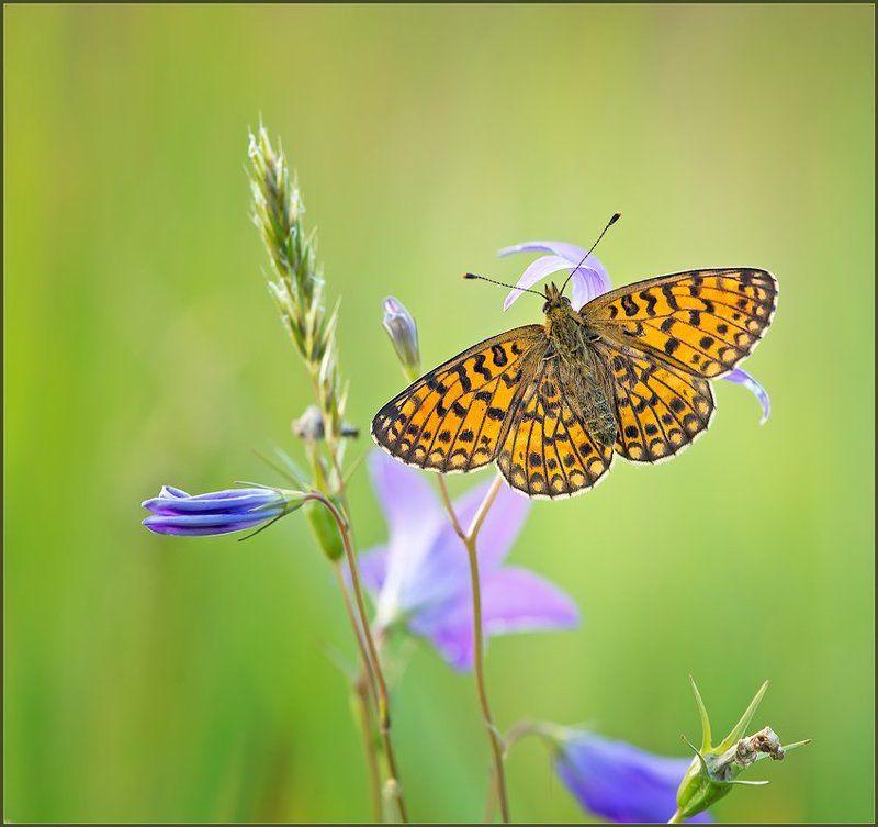 макро,бабочка,природа, ...и сбоку бантик.photo preview
